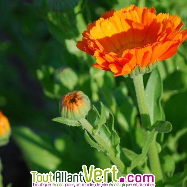 Graines Bio Fleur Souci Officinal Ab Achat Vente Ecologique